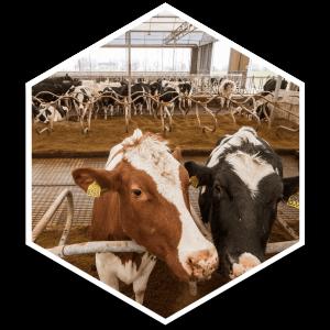 hexagon 2 koeien