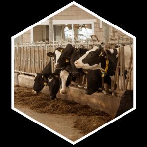 hexagon koeien